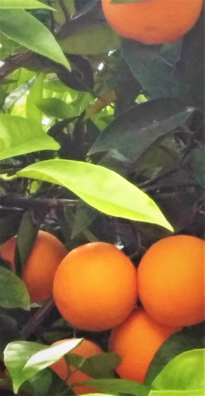 Oranges in Moraira